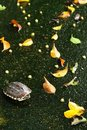 Free Turtle And Leaf Fall Stock Images - 17531424