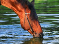Free Drinking Horse Stock Photography - 17533352