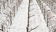 Free Vineyards In Winter Royalty Free Stock Image - 17530136