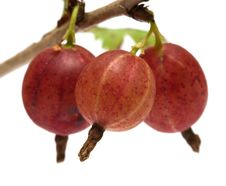 Free Gooseberries. Royalty Free Stock Photos - 17530388