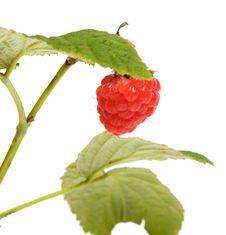 Free Raspberry-cane. Stock Photo - 17530390