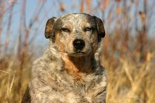 Free Australian Cattle Dog Royalty Free Stock Image - 17530796