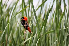 Free Red Bishop Bird Stock Photography - 17530992