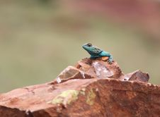 Free Sungazer Lizard Royalty Free Stock Photography - 17531097