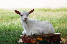 Free White Goat Stock Photo - 17533830