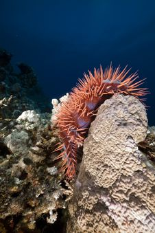 Free Crown-of-thorns Starfish In The Red Sea. Stock Image - 17535401