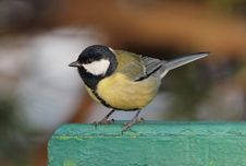 Free Great Tit Royalty Free Stock Images - 17535989