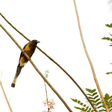 Free Indian Treepie Perched On The Branch Royalty Free Stock Photo - 17536045