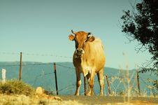 Free Cow Stock Photos - 17536733
