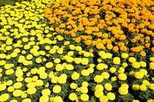 Free Marigold Flower Festival Royalty Free Stock Images - 17536909