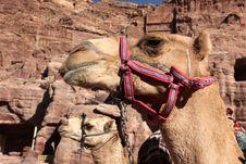Free Camels In Petra, Jordan Royalty Free Stock Photos - 17537898