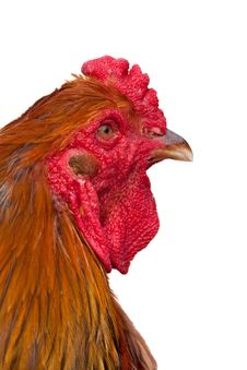 Free Orange Rooster Head Royalty Free Stock Image - 17538776
