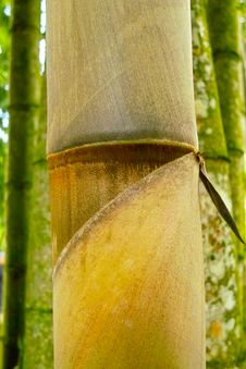 Free Big Bamboo Royalty Free Stock Photography - 17538937