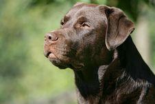 Free Brown Labrador Retriever Dog Royalty Free Stock Images - 17539589