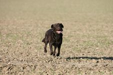 Brown Labrador Action Stock Images