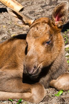 Free Newborn Elk Stock Image - 17539641