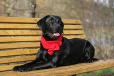 Free Black Labrador Retriever Royalty Free Stock Photography - 17539727