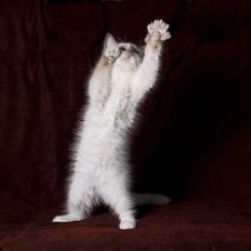Free Ragdoll Kitten Royalty Free Stock Photo - 17540605