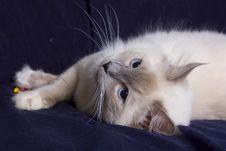 Free Ragdoll Cat Royalty Free Stock Photography - 17540617