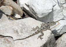 Free Lizard Stock Photo - 17543320