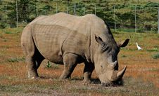Free Rhinoceros Royalty Free Stock Photo - 17543335
