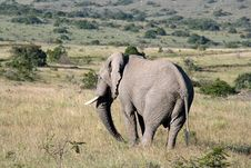 Free Wild South African Elephant Royalty Free Stock Photography - 17543347