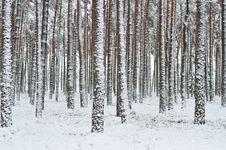Free Forest In Winter Royalty Free Stock Image - 17543816