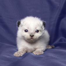Free Ragdoll Kitten 3 Weeks Old Stock Image - 17544351