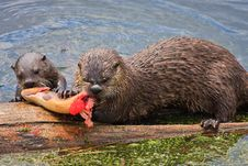 River Otters Feeding On Cutthroat Trout Stock Image