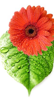 Red Daisy And Leaf With Water Drops Royalty Free Stock Photography