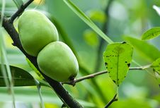 Green Pear Fruit Stock Photography