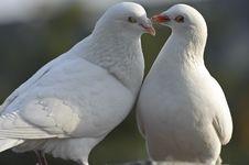 Free Two Loving White Doves Stock Images - 17544954
