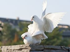 Free Two Loving White Doves Royalty Free Stock Photography - 17544957