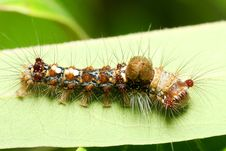 Caterpillar On Leaf Royalty Free Stock Photos