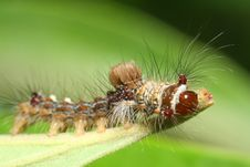 Free Caterpillar Macro Royalty Free Stock Images - 17546589