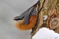 Free Nuthatch Bird. Royalty Free Stock Photos - 17546798