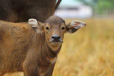Free Buffalo Stock Images - 17547164