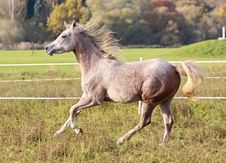 Free Young Arabian Thoroughbred Royalty Free Stock Images - 17548759