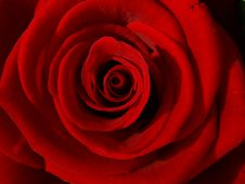 Free Red Rose Macro Close Up Royalty Free Stock Photo - 17549885