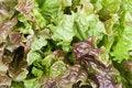 Free Salad Leaves Stock Image - 17550801