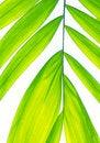 Free Palm Leaf Isolated On White Royalty Free Stock Image - 17551846