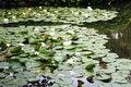 Free White Water-lilies Royalty Free Stock Photos - 17559028