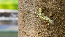 Free Green Caterpillar On Bark Of Tree Stock Images - 17551414
