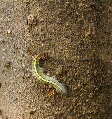 Free Green Caterpillar On Bark Of Tree Stock Images - 17551444