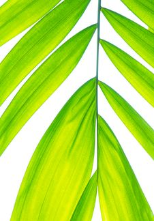 Free Palm Leaf Isolated On White Royalty Free Stock Image - 17551846