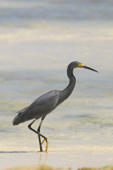 Free Dimorphic Egret, Egretta Dimorpha Stock Photo - 17552840
