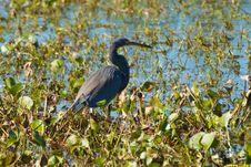Free Tricolored Heron Stock Photo - 17555800