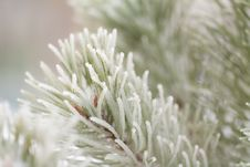 Free Hoar Frost Fir-tree Royalty Free Stock Photos - 17558188