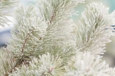 Free Hoar Frost Fir-tree Royalty Free Stock Photos - 17558198