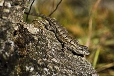 Free Eastern Fence Lizard Royalty Free Stock Images - 17558369